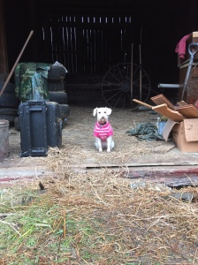 Mayberry Protecting the Barn